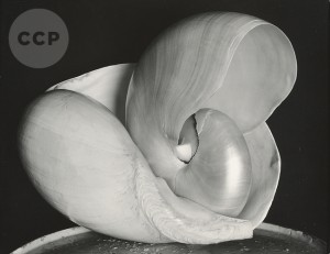 Scott Nichols Gallery, Edward Weston Shells, AIPAD