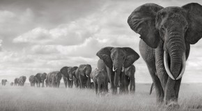 Hasted Kraeutler Nick Brandt - Elephants Walking