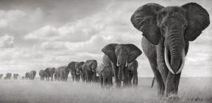 Hasted Kraeutler Nick Brandt - Elephants Walking