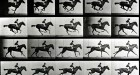Galloping Horse, Eadweard Muybridge Image courtesy Laurence Miller Gallery,
